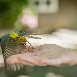 A Canada warbler is released after being banded at the Manomet Banding Lab in Manomet, Massachusetts.