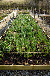 The narcissus bed in early spring - also showing emerging hyacinths and dormant dahlias protected with mulch