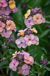 Erysimum 'Pastel Patchwork' - Perennial wallflower