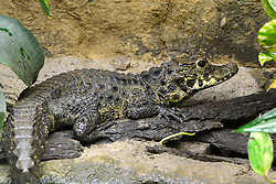 THEMENBILD - Stumpfkrokodil (Osteolaemus tetraspis), captive, Vorkommen Afrika // Stump crocodile (Osteolaemus tetraspis), captive, Occurrence Africa. EXPA Pictures © 2017, PhotoCredit: EXPA/ Eibner-Pressefoto/ Schulz<br /> <br /> *****ATTENTION - OUT of GER*****