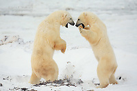 Polar bears playfighting on the arctic tundra near Churchill, Manitoba, Canada