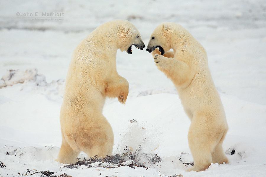 Polar bears playfighting on the arctic tundra near Churchill, Manitoba, Canada
