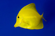 A Yellow tang fish (Zebrasoma flavescens) swimming in an aquarium at the King's Lynn Koi Centre Norfolk