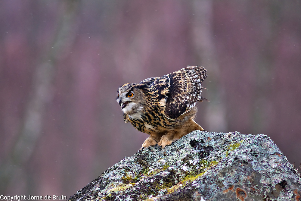 An Eurasian Eagle Owl sits on a rock in the Cairngorms National Park in Scotland