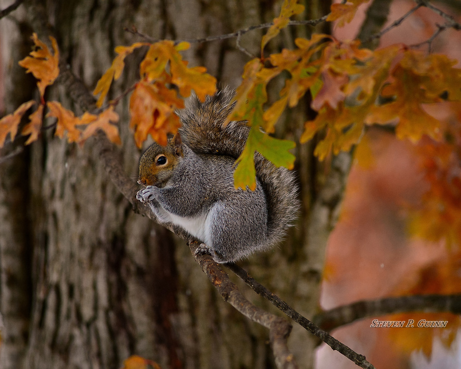 """I captured this image, as well as """"Flexible Eater"""" and """"Curious Observer"""", of an Eastern Gray Squirrel in my back yard on November 13th, 2019. I found this squirrel eating corn from a squirrel feeder setup nearby. At one point, I think he saw me, got nervous, and jumped into this tree to finish his meal. Luckily he didn't go too far up to where branches and leaves would have blocked my view. What I like the most about this image is how I was able to capture it from an elevated position to get a profile view and how the leaves provide minimal bokeh (blur) in the foreground.<br /> <br /> Printed on Hahnemühle German Etching paper and Breathing Color canvas. Limited to 40 productions per size and type.<br /> <br /> Prints are available in 20"""" x 16"""", 30"""" x 24"""", and 40"""" x 32"""" sizes.<br /> <br /> Gallery canvas wraps are available in 20"""" x 16"""", 30"""" x 24"""", and 40"""" x 32"""", each with semi-gloss and matte lamination."""