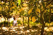 Beautiful lemons often used here for Lemoncello in the coastal region of Positano