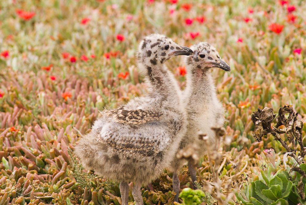 Western gull chicks (Larus occidentalis), Anacapa Island, Channel Islands National Park, California