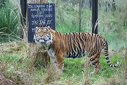 © Licensed to London News Pictures. 03/01/2019. London, UK. Two Sumatran Tiger walk around their enclosure during the annual stocktake at London Zoo. London Zoo undertakes its annual stocktaking which is carried out at the the start of each year. Every animal in London Zoo is weighed and measured and the statistics is shared with other Zoos across the world.  Photo credit: Dinendra Haria/LNP