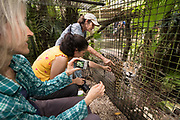 Sharon Matola provides a unique up close experience with jaguar (Panthera onca) Junior Buddy at the Belize Zoo.