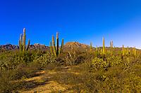 Cactus, Salina San Ysidria, Sea of Cortes, Baja California Sur, Mexico