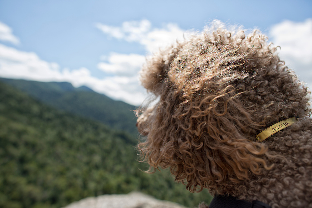 Poodle from behind with hair blowing in the wind
