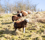 Herdwick sheep conservation grazing, Morgan's Hill, Wiltshire, England, UK