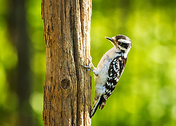 A Downy Woodpecker On A Tree Stump Backed By Forest Green