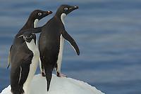 Adelie Penguins (Pygoscelis adeliae) on an iceberg in the Erebus and Terror Gulf.
