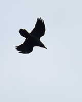 American Crow (Corvus brachyrhynchos). Image taken with a Nikon D5 camera and 80-400 mm VRII lens.