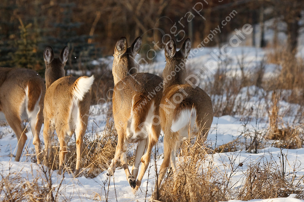 A large herd of deer live in Carburn Park in Calgary and are usually easy to find...©2009, Sean Phillips.http://www.Sean-Phillips.com