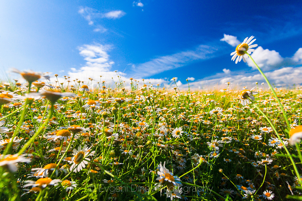 Spring field of daisies