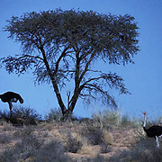Ostrich, (Struthio camelus) Male under Acacia tree in shade to keep cool in the Kalahari Desert. Other male nearby.  Africa.