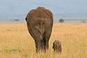 African Elephant and cub (Loxodonta africana), Masai Mara National Reserve, Kenya.