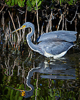 Tricolored Heron. Blackpoint Wildlife Road, Merritt Island National Wildlife Drive. Image taken with a Nikon D4 camera and 500 mm f/4 VR lens (ISO 560, 500 mm, f/5.6, 1/2000 sec).