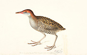 The slaty-breasted rail (Lewinia striata) [Here as Blue-breasted banded rail (Rallus striatus)]. 18th century watercolor painting by Elizabeth Gwillim. Lady Elizabeth Symonds Gwillim (21 April 1763 – 21 December 1807) was an artist married to Sir Henry Gwillim, Puisne Judge at the Madras high court until 1808. Lady Gwillim painted a series of about 200 watercolours of Indian birds. Produced about 20 years before John James Audubon, her work has been acclaimed for its accuracy and natural postures as they were drawn from observations of the birds in life. She also painted fishes and flowers. McGill University Library and Archives