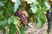 Semillon grapes with noble rot, but really more dried (passerille) than rotten.  at harvest time  Chateau d'Yquem, Sauternes, Bordeaux, Aquitaine, Gironde, France, Europe