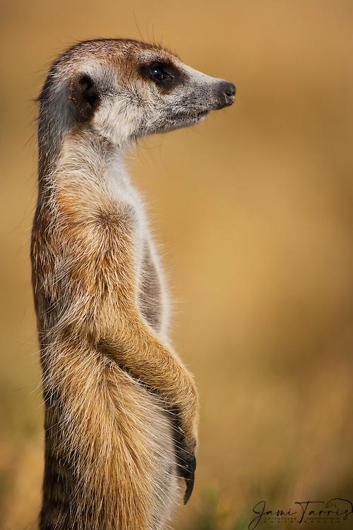 A meerkat ( Suricata suricatta ) on sentry duty looking out for predators in the early morning, Kalahari Desert, Botswana, Africa