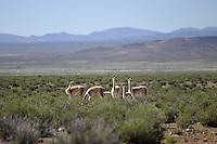 VICUNAS (Vicugna vicugna), GRUPO CON CHULENGOS EN LA PUNA, PROV. DE JUJUY, ARGENTINA