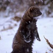Fisher, (Martes pennanti) Montana. Portrait. Standing upright. Winter.  Captive Animal.