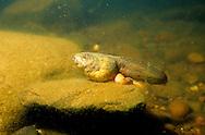 Bullfrog Tadpole<br /> <br /> ENGBRETSON UNDERWATER PHOTO