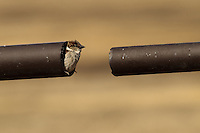 A sneaky house sparrow making it's home in the break in a fence...©2010, Sean Phillips.http://www.Sean-Phillips.com
