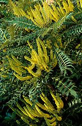 The scented flowers of Mahonia lomariifolia