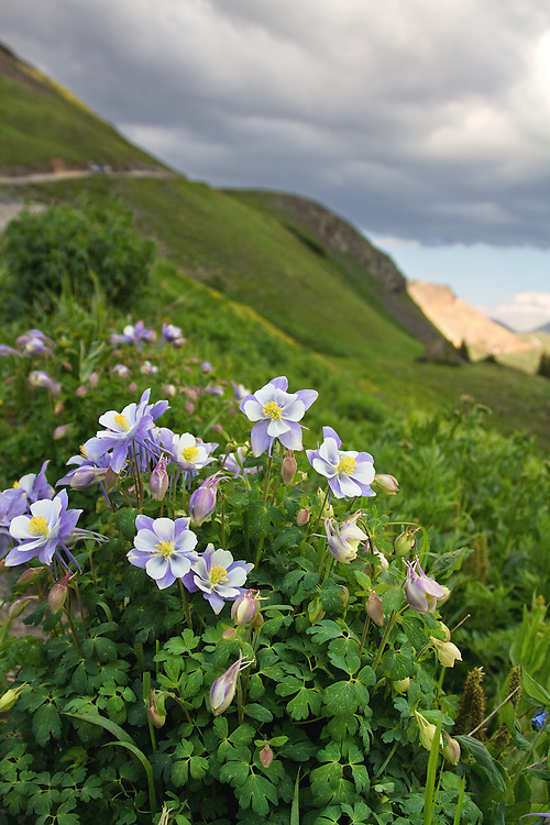 """Big Bear Pass is located in the San Juan Mountains between Ouray and Silverton, Colorado. <br /> <br /> Colorado's state flower, the white and lavender columbine (Aquilegia caerulea) is commonly known as the Rocky Mountain columbine. <br /> <br /> 18"""" x 12""""<br /> <br /> See Pricing page for more information.<br /> <br /> Please contact me for custom sizes and print options including canvas wraps, metal prints, assorted paper options, etc. <br /> <br /> I enjoy working with buyers to help them with all their home and commercial wall art needs."""