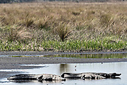 American alligators bask along the riverbank at the Donnelley Wildlife Management Area March 11, 2017 in Green Pond, South Carolina. The preserve is part of the larger ACE Basin nature refugee, one of the largest undeveloped estuaries along the Atlantic Coast of the United States.