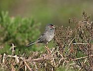 Marmora's Warbler - Sylvia sarda - adult male