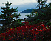 Brilliant autumn foliage of black huckelberry, Gaylussacia baccata, with Otter Point framed by spruces, Acadia National Park, Maine.