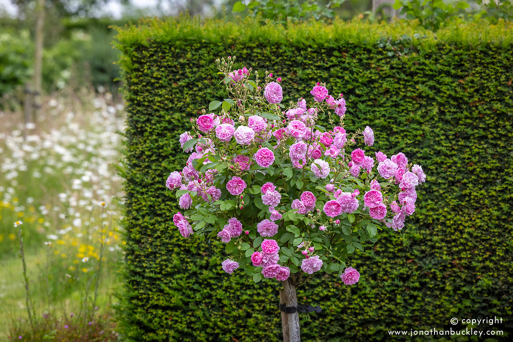 Rosa 'Harlow Carr' grown as a standard
