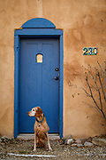 SHOT 12/30/17 5:07:30 PM - Tanner, a 13 year-old male Vizsla, poses in front of a classic New Mexican doorway along Ledoux Street in Taos, N.M. Adobe means mudbrick in Spanish, but in some English-speaking regions of Spanish heritage, the term is used to refer to any kind of earth construction. Most adobe buildings are similar in appearance to cob and rammed earth buildings. Adobe is among the earliest building materials, and is used throughout the world. Taos is a town in Taos County in the north-central region of New Mexico in the Sangre de Cristo Mountains, incorporated in 1934. As of the 2010 census, its population was 5,716 and is known for the historic Taos Pueblo and more recently as an artist enclave. (Photo by Marc Piscotty / © 2017)