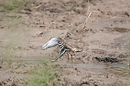 Killdeer springing up out of a water hole after bathing.