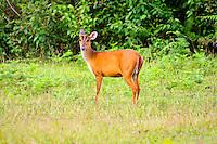 Red muntjac, barking deer,Khao Yai National Park,  Thailand