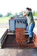 The pulping process of the coffee cherry at the Ka'u Coffee Mill, in the district of Ka'u on the Big Island of Hawaii, USA, America