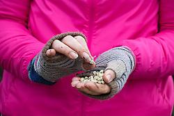Sowing Pisum sativum - Peas