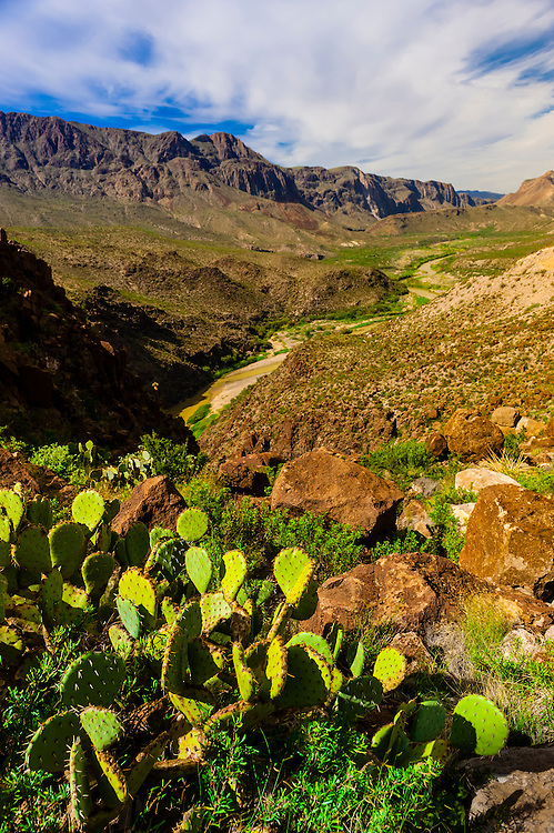 Prickly Pear Cactus, Rio Grande River in background, which is the border of the USA and Mexico. Mexico is on the left), Big Bend Ranch State Park, Texas USA.