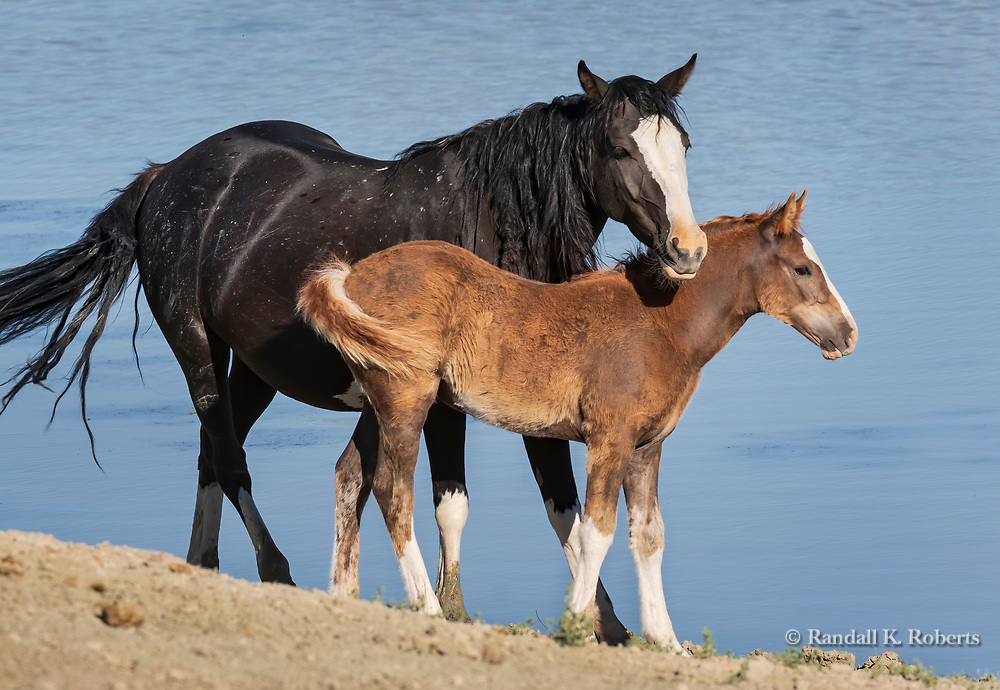 A wild horse mare and foal snuggle near a water hole in the Sandwash Basin Wild Horse Management Area in northwest Colorado.