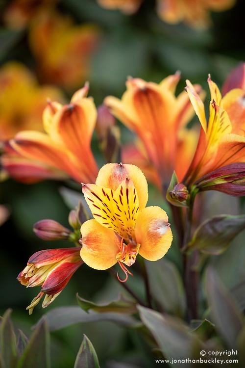 Alstroemeria Summer Paradise 'Summer Breeze'
