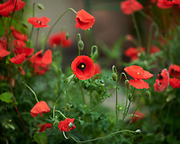 Red Poppies. Image taken with a Nikon D850 camera and 105 mm f/1.4 lens