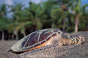 juvenile green sea turtle, Chelonia mydas, basking on beach at Kahuwai Bay, between Kona Village and 4 Seasons Resort, Kona, Hawaii ( the Big Island ), USA ( Central Pacific Ocean )