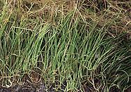 Pillwort- Pilularia globifera
