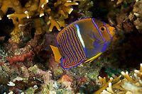 King Angelfish (Holacanthus passer) juvenile<br /><br />Contreras Islands<br />Coiba National Park<br />Panama<br /><br />The Fridge dive site
