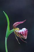 Ram's-head lady's-slipper orchid (Cypripedium arietinum)